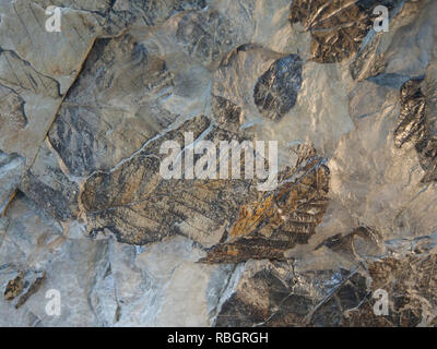 Fossilien Blätter in einem Stein, Nahaufnahme von einer Anzeige im Botanischen Garten in Oslo Norwegen Stockbild