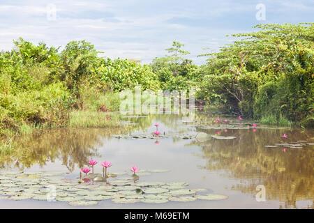 Beruwela, Sri Lanka, Asien - blühende Seerosen auf einem See in der Nähe von Beruwela Stockbild