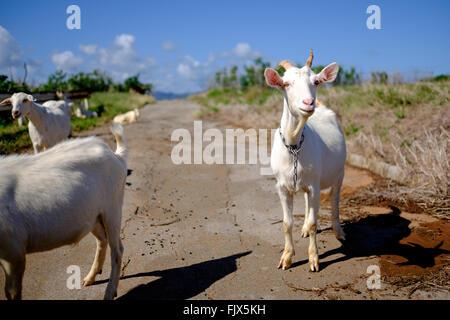 Ziegen auf der Straße stehen Stockbild