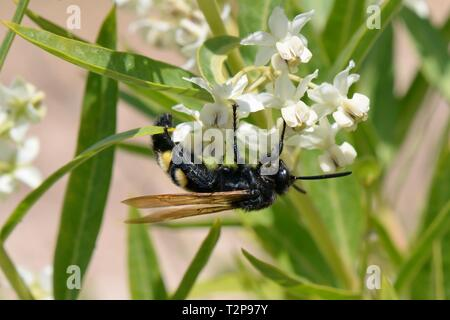 Behaart Blüte Wasp (Colpa sexmaculata) weibliche Fütterung auf Milkweed / Ballon Baumwolle Blumen (Gomphocarpus fruticosus), Sardinien, Italien, Juni. Stockbild