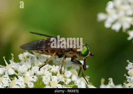 Sehr große weibliche Pferd fliegen (Philipomyia Aprica) Beschickung von Gemeinsamen scharfkraut (Heracleum sphondylium) Blumen, Julische Alpen, Slowenien, Juli. Stockbild