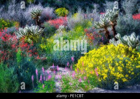 Gelbe Blumen (Brittlebrush Encelia farinosa), cholla Catus und rote Chuparosa. Anza Borrego Desert State Park, Kalifornien Stockbild