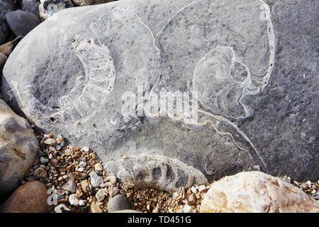 Zwei Ammoniten Fossilien und ein Nautilus fossilen in Felsen auf Monmouth Beach, Lyme Regis, Jurassic Coast, Weltkulturerbe der UNESCO, Dorset, England, Vereinigtes Stockbild