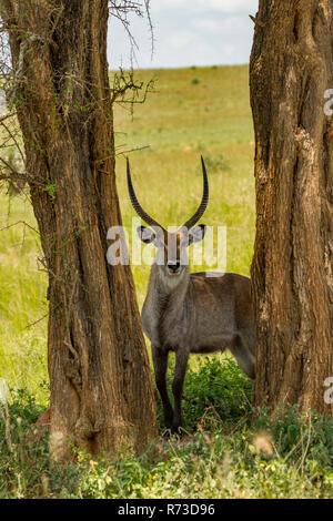 Wasserböcke (Kobus ellipsiprymnus) Murchison Falls Nationalpark, Uganda Stockbild