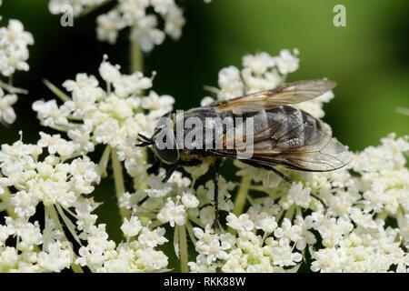 Weibliche Pferd fliegen (Dasyrhamphis umbrinus) Beschickung von Möhre/Queen Anne's Lace (Daucus carota) Blumen, Lesbos/Lesbos, Griechenland, Mai. Stockbild