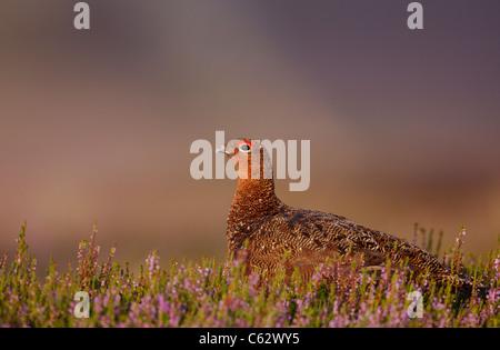 MOORSCHNEEHUHN Lagopus Lagopus Scoticus ein erwachsener Mann unter blühenden Heidekraut Yorkshire Dales National Stockbild