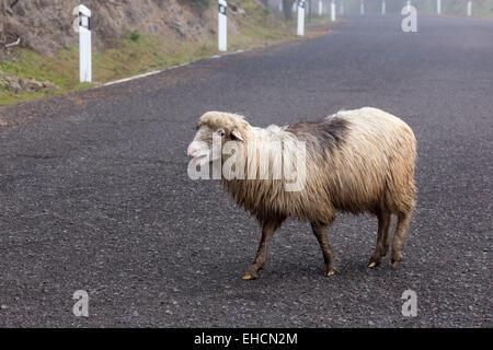 Schafe, die beim Überqueren einer Straße, Gran Canaria, Kanarische Inseln, Spanien Stockbild