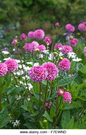 Dahlie 'Berlin' - Spring Garden - Chenies Manor Gardens Stockbild