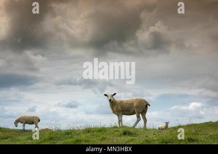 Schafe auf Corton Denham Beacon, Somerset, England, Großbritannien Stockbild