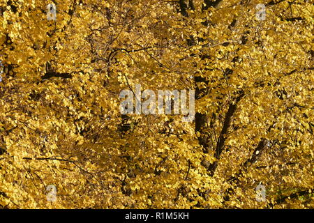 Gelb Buche Blätter auf den Ästen verfärbt, Deutschland, Europa Stockbild