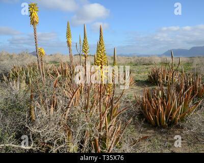 Aloe vera, ein arabisches Werk für medizinische Zwecke angebaut, wild blühen auf Steppe, Buschland auf Teguise, Lanzarote, Kanarische Inseln, Februar. Stockbild