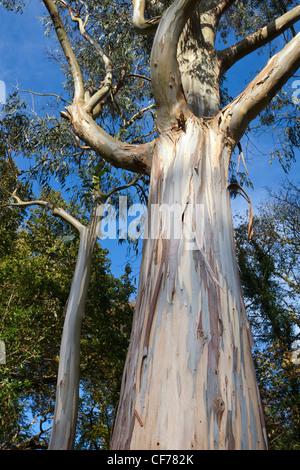 Schöner Baum erhebt sich über dem Gelände des Mount Stewart, Nordirland. Stockbild