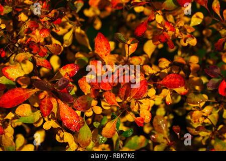Bunte Blätter im Herbst in einem Garten Hecke, Deutschland, Europa Stockbild