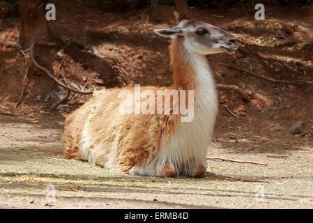 Guanako, Lama Guanicoe Camelidae. Das Guanaco ist eine Kameliden Südamerika heimisch. Stockbild