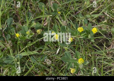 Gelbe Blüte weniger Kleeblatt, Trifolium Dubium, repräsentative Anlage für Irisches Kleeblatt, Berkshire, Juni Stockbild