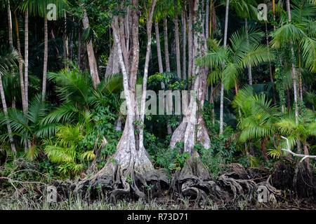 Euterpe oleracea (Açai), Igarapé, Amazon, Belem do Pará, Para, Brasilien Stockbild