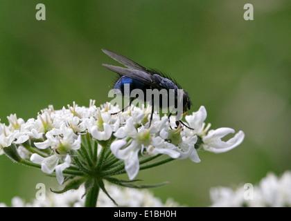 Blaue Flasche fliegen, Hexamerinaufnahme eingespieltes (weiblich), Calliphoridae, Diptera. Syn. C. Insidiosa, C. Monspeliaca, C. Musca, C. Nana. Stockbild