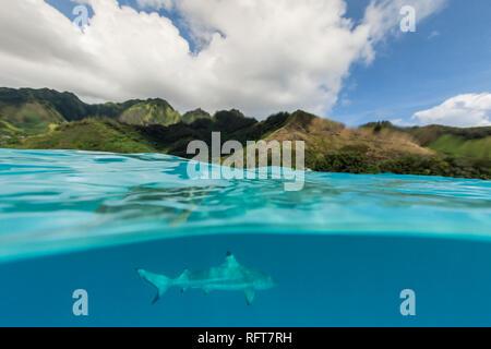 Schwarzspitzen Riffhai (Carcharhinus Melanopterus) Kreuzfahrt die seichten Gewässer von Moorea, Gesellschaftsinseln, Französisch-Polynesien, South Pacific, Pazifik Stockbild