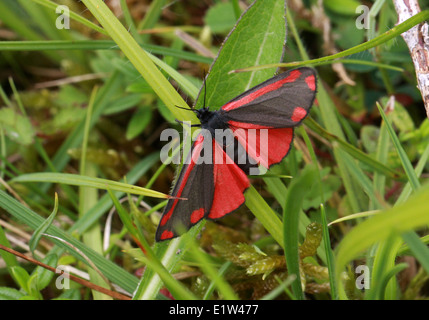 Zinnober Motte, Tyria Jacobaeae, Arctiidae. Ein Tag fliegen Motten. Stockbild