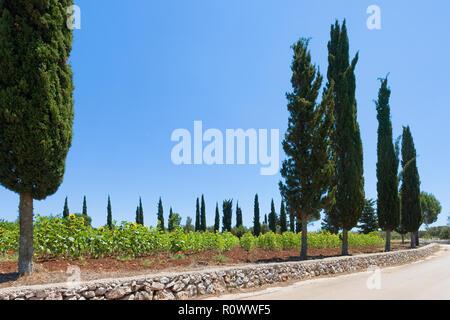 Santa Cesarea Terme, Apulien, Italien - Sonnenblumen entlang der Landstraßen von Apulien Stockbild