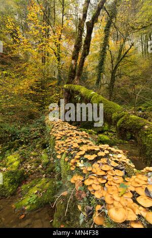 Pilze und Farben des Herbstes, Bief du Sarrazin, Source du Lison, Doubs, Franche-Comté, Frankreich Stockbild
