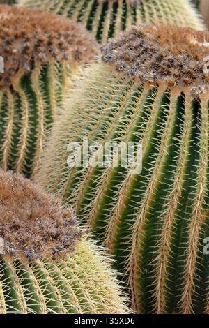 Gruppe von Goldenes Fass Kakteen/goldenen Kugeln/Schwiegermutter Kissen (Mexiko), ein Arten endemisch in Mexiko, am Jardin de Cactus, Stockbild