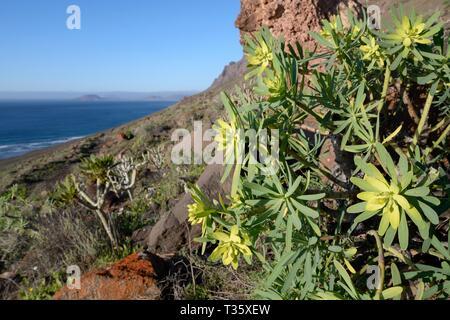 Königs Juba Wolfsmilch (Euphorbia regis-jubae) und Balsam Wolfsmilch (Euphorbia balsamifera), blühen auf Famara Klippen, Lanzarote, Kanarische Inseln, Februar. Stockbild