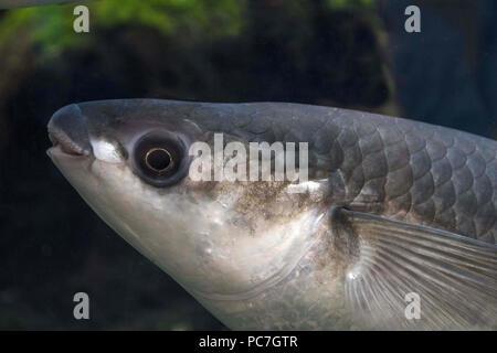 Dicke Lippen Meeräsche (Chelon Labrosus), Erwachsener, portriat von Kopf, Bristol, England Juli Aquarium Stockbild