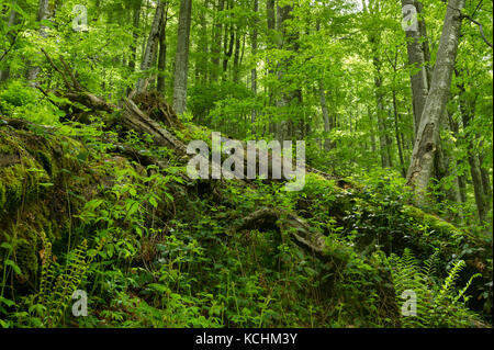 Domogled Nationalpark/Rumänien - Urwald in iauna craiove Unesco Weltnaturerbe. Jedoch nur außerhalb der Stockbild