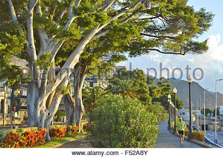 Hafenpromenade Gasse von immergrünen Bäumen in Santa Cruz de Tenerife Kanarische Inseln Spanien. Es genießt Stockbild