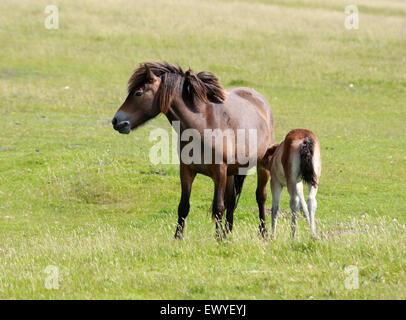 Exmoor Pony und Fohlen, Exmoor, Devon. Seltene, vom Aussterben bedrohten Rasse der Pferde, Equus Ferus Caballus, Stockbild
