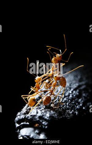 Gruppe von roten Ameisen auf schwarzem Hintergrund Stockbild