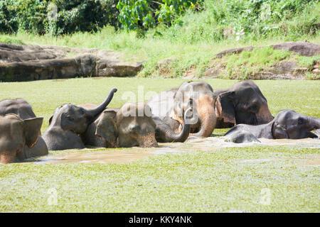Asiatische Elefanten - Sri Lanka, Asien Stockbild