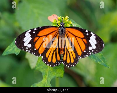 Nahaufnahme der Schmetterling auf Anlagen im freien Stockbild