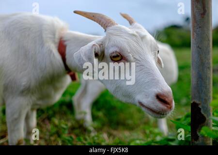 Close-up Portrait der Ziege auf Feld Stockbild