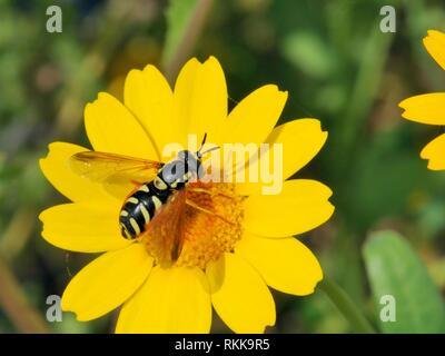 Wasp hormonähnliche Hoverfly (Chrysotoxum cisalpinum) Nahrungssuche auf Krone Daisy (Chrysanthemum coronarium), Korsika, Frankreich, Mai. Stockbild