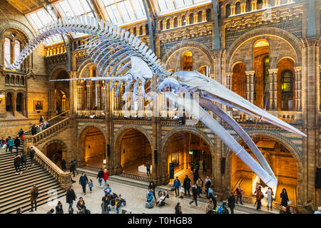 England, London, South Kensington, das Natural History Museum, die Ausstellung der Blauwal Skelett im Hintze Hall Stockbild