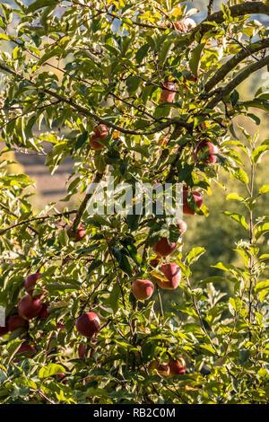 Rote Äpfel hängen an einem Apfelbaum Stockbild