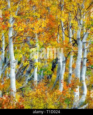 Nahaufnahme von Herbstfarben und Espe Baumstämme. Inyo National Forest. California Stockbild