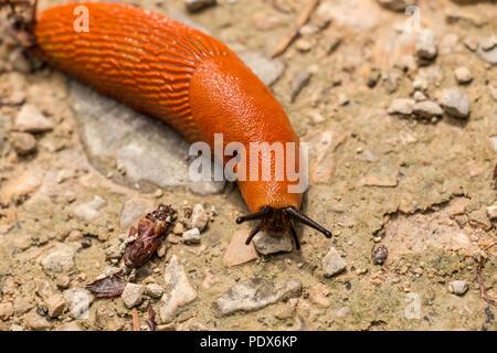 Big orange Schnecke auf steinigem Boden im Wald Stockbild