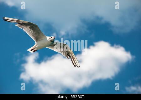 Eine fliegende Möwe in den blauen Himmel mit weißen Wolken Stockbild