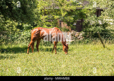 Pferde auf der grünen Wiese Stockbild