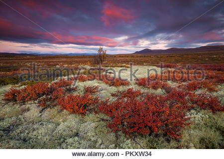 Herbst Farben bei Fokstumyra Nature Reserve, Dovre, Norwegen. Stockbild