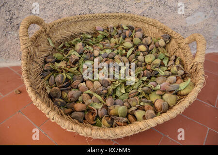 Botanik, Mandel, Mandeln, die nach der Ernte, Jijona oder Xixona, Alicante, Costa Blanca, Spanien, Additional-Rights - Clearance-Info - Not-Available Stockbild
