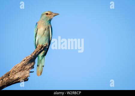 Eine europäische Rolle, Coracias garrulus, Sitzstangen auf einem toten Zweig vor blauem Himmel Hintergrund. Auf der Suche aus dem Rahmen. Stockbild