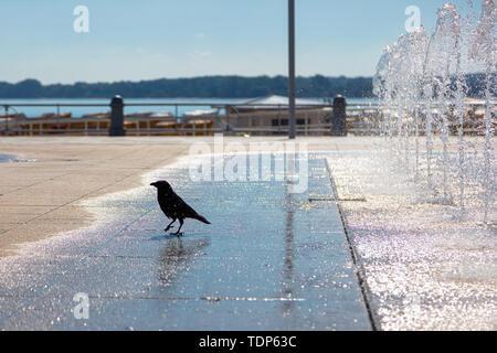 Eine Krähe stillt ihren Durst an einem Brunnen Stockbild