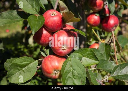 Äpfel auf dem Baum, Additional-Rights - Clearance-Info - Not-Available Stockbild