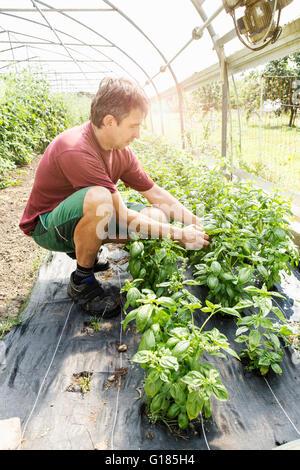 Bauer arbeitet an Pflanzen im Gewächshaus Stockbild