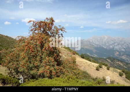 Mountain Ash/Eberesche (Sorbus aucuparia) Beladen mit Beeren, in der Nähe von Puerto de San Glorio, Picos de Europa Berge, Kantabrien, Spanien, August 2016. Stockbild