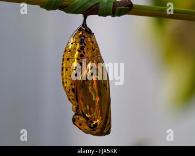 Nahaufnahme von Caterpillar auf Ast Stockbild